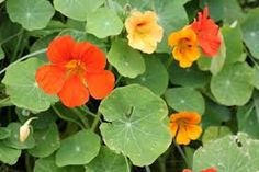 Image result for nasturtium