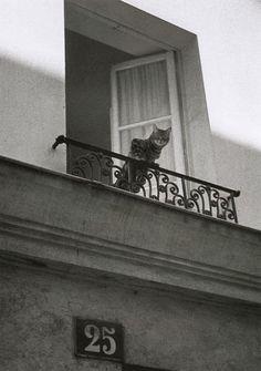 Hanging out the balcony window. (Photo by Édouard Golbin Quartier du Marais, Juillet 1985 From Paris entre chats) I Love Cats, Crazy Cats, Cute Cats, Funny Cats, Chat Paris, Paris Cat, Cat Window, Balcony Window, Cat Photography