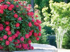 Growing Double Knock Out® Roses | Star Roses & Plants