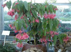 B lucerna begonia   ... appartamento: Begonia corallina, tamaya, corallina di Lucerna