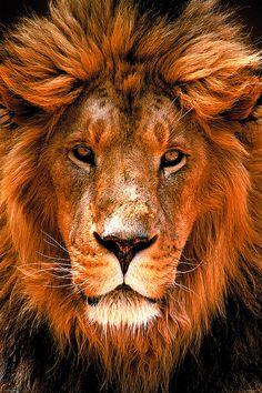 Roi Lion africain de l'affiche de la Jungle par CamdenTownPosters