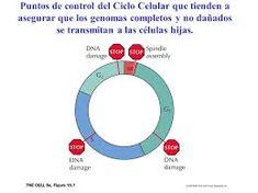 La división celular es una parte muy importante del ciclo celular en ...