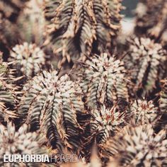 Euphorbia Horrida (African milk barrel)  With a name that literally translates from Latin to 'with many prickles', this shrubby monster is a certain favourite for the #euphorbia fans that like their plants a bit scary looking www.manplants.com.au