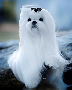 Beautiful Maltese. Reminds me of Angel. RIP Angel Baby
