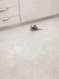 Cockatiel Gives Lovebird a Piggyback Ride. [video]