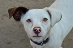 Georgia - 10 mo old - Terrier mix - Female  Isn't this baby girl adorable! This sweet thing is quite the love bug and soaks up all the attention! #AdoptableDog #arfdogs #FresnoAdoptable