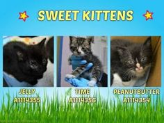 *** TO BE DESTROYED 06/10/17 ***THREE SWEET KITTENS NEED FOSTER  - 6 WEEKS OLD - EATING ON OWN ‪**SEVERE** ‬