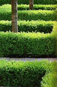 """Garden design - Okay, so I mostly pinned this in the event that I dare to plant fruit trees in the common area behind my house; a green """"fence"""" around the tree could protect the roots and tree base from the lawn service. Boxwood Garden, Garden Hedges, Boxwood Hedge, Modern Landscaping, Outdoor Landscaping, Modern Garden Design, Landscape Design, Modern Design, Formal Gardens"""