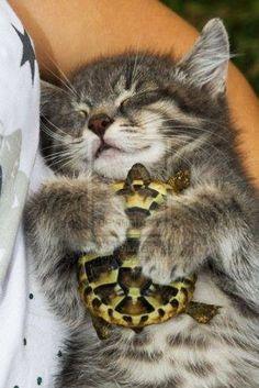 Persahabatan kucing dan kura kura :)