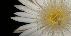 Peniocereus serpentina - 107633743223035690534 - Álbumes web de Picasa
