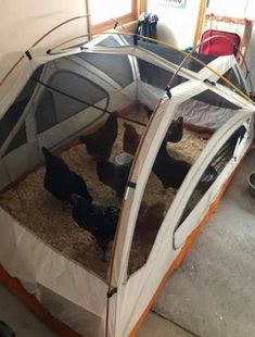 Your chickens gone camping? It certainly looks like that when you first take a look at this diy tent chicken coop. I think in terms of ease of setting up this Chicken Swing, Chicken Garden, Chicken Runs, Diy Chicken Coop, Small Chicken, Pet Chickens, Raising Chickens, Chickens Backyard, Winter Chickens