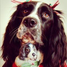 """Jil says, """"Roxie, our English Springer Spaniel, is ready to hang her favorite ornament on the tree!"""""""