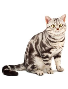American Shorthair - love the markings on this kitty!