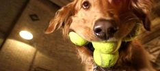 Let's be honest, Golden Retrievers are part of the American Dream. With this being the case, you need to learn these 90 fun facts about this amazing breed! Golden Retriever Mix, Golden Retrievers, Fun Facts, Dogs, Images, Animals, Search, Animales, Animaux