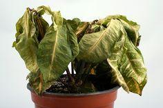 Você ganha uma planta, ela chega linda e, de repente, começa a ficar murcha, amarelada, sem vida! Plantas morrendo? Veja aqui o que fazer!