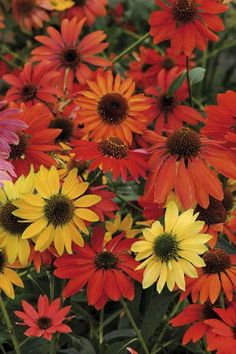 Echinacea Cheyenne Spirit mixture - Red, orange, yellow and cream coloured flowers top the well branching stems for several weeks from late summer onwards, helping to attract pollinating insects and birds to the garden. Tolerant of drought once established.