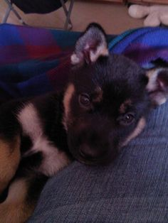 german shepard with 1/4 husky mix!! i love this puppy!!!