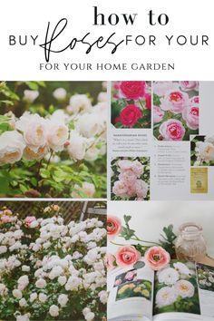 Gardening Zones, Gardening Tips, Flower Gardening, Where To Buy Roses, Rose Plant Care, Plant Breeding, Rose Thorns, Austin Rose, Types Of Roses