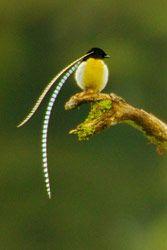 King-of-Saxony Bird-of-paradise by Tim Laman
