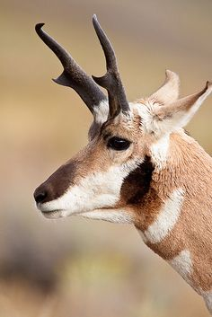 Close-up of a Pronghorn Buck in Yellowstone National Park
