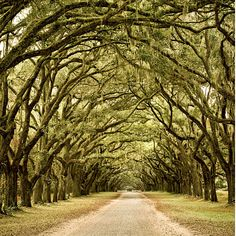 Live Oak Trees | Savannah, Georgia