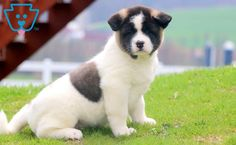 This Akita puppy is the sweetest boy you will ever meet! After a long day at work, this cutie-pie will surely make your day with all of his puppy kisses! Akita Puppies For Sale, Baby Puppies For Sale, Cute Dogs, Cute Babies, Design Development, Sweet Girls, Cute Baby Animals, Kawaii, Diy Dog