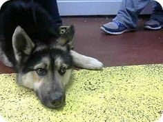Atlanta, GA - German Shepherd Dog Mix. Meet KLAUS, a dog for adoption. http://www.adoptapet.com/pet/12626891-atlanta-georgia-german-shepherd-dog-mix