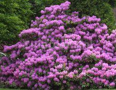 Foto: Rododendron 'Lee's Dark Purple'