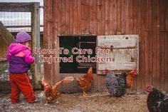 Most of the injuries that chickens can acquire in well maintained coop and run can be taken care of.