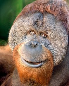An Orangutan smiles :)