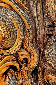 The bark of an ancient bristlecone pine pinus longeave in the white mountains of central California
