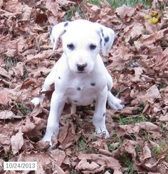 522 Best Dalmatian Puppies Images Pets Beautiful Dogs Cute Baby Dogs