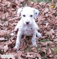 Dalmatian Puppy for Sale