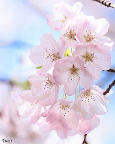 I luv sakura! Photo by *Yumi* on Flickr