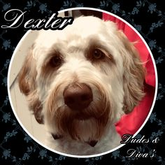 Pretty boy, Dexter the labradoodle ♥️🐾 Grooming Salon, Labradoodle, Dexter, Pretty Boys, Diva, Cute Boys, Dexter Cattle, Good Looking Guys, Labrador