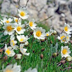 Weiße Berganemone in den Alpen