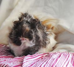The Guinea Pig Daily: Tiberius Guinnie Pig, Pig Pics, Baby Guinea Pigs, Strange Photos, Little Critter, Animals Of The World, Fur Babies, Cute Animals, Creatures