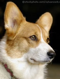 Pembroke Welsh Corgi Dog...she reminds me of my sweet Nelly