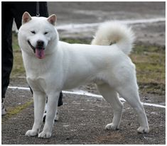 This breed of dogs is a very intelligent breed. The thin looking dog has a muscular and sturdy body. This breed of dog has an impulsive gate. These dogs are American Eskimo Dog, Hokkaido Dog, Japanese Spitz, African Wild Dog, Dog List, Purebred Dogs, Dog Activities, Wild Dogs, Sleeping Dogs