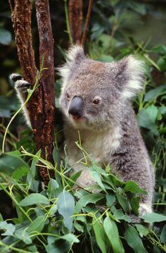 #koala #Australia #bearhug