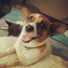 Meet Bonnet a Petfinder adoptable Corgi Dog | Plano, TX | Meet Miss Bonnet!She is the sweetest girl you will meet. Bonnet was rescued from a local high kill...