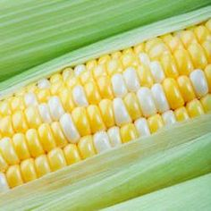 Bilicious is a bi-colored sweet corn renowned as an excellent mid-season variety. Pine Seeds, Herb Seeds, Vegetable Seeds For Sale, American Hazelnut, Kentucky Coffee Tree, Golden Chain Tree, Bloodgood Japanese Maple, Katsura Tree