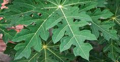 Incrível! Os benefícios medicinais da folha de mamão - # #alimentobenéfico #Folhas #mamão #saúde