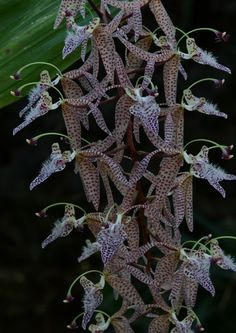 The Orchid Column: Polycycnis barbata