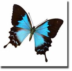 Butterfly Facts For Kids - The Ulysses Butterfly