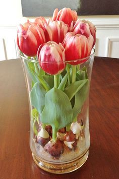 How to grow tulip bulbs in a vase. Fill water in the vase to just under the bottom of the bulbs. You do not want the water to touch the base of the bulbs. Place in a room with bright, indirect sunlight and watch the bulbs grow! Roots will work their way down through the glass beads into the water.