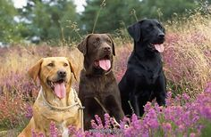 Yellow, Chocolate & Black Labs