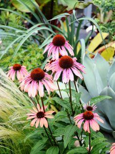 え~、今回は、アプリコット色で咲き始め、グレーみのラセットピンクに褪色していく移ろいがお気に入りの エキナセア サマースカイ Echinacea 'Sum...