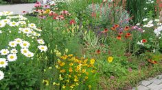 Flowering perennials in the front garden.The daisies always steal the show.  TWO WAYS TO ENLARGE! Click directly on the image to enlarge in a pop-up. Click HERE to view the image in a new browser window.