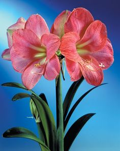Types of Houseplant Bugs and Methods to Check Their Infestation Hippeastrum 'Vera' - Amaryllis Bulb Flowers, Tulips Flowers, Planting Flowers, Very Beautiful Flowers, Exotic Flowers, Amarillis, Inside Plants, Watercolor Flowers, Cactus Plants